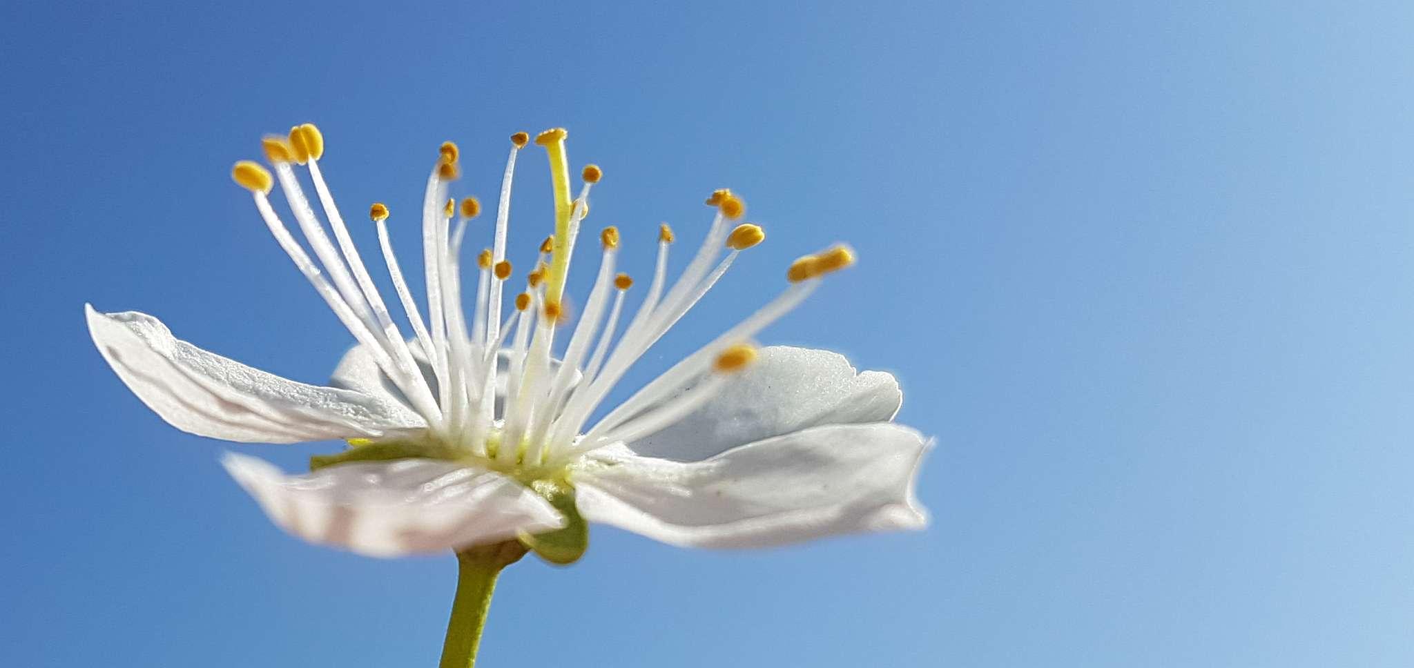 floare_sgs7_1
