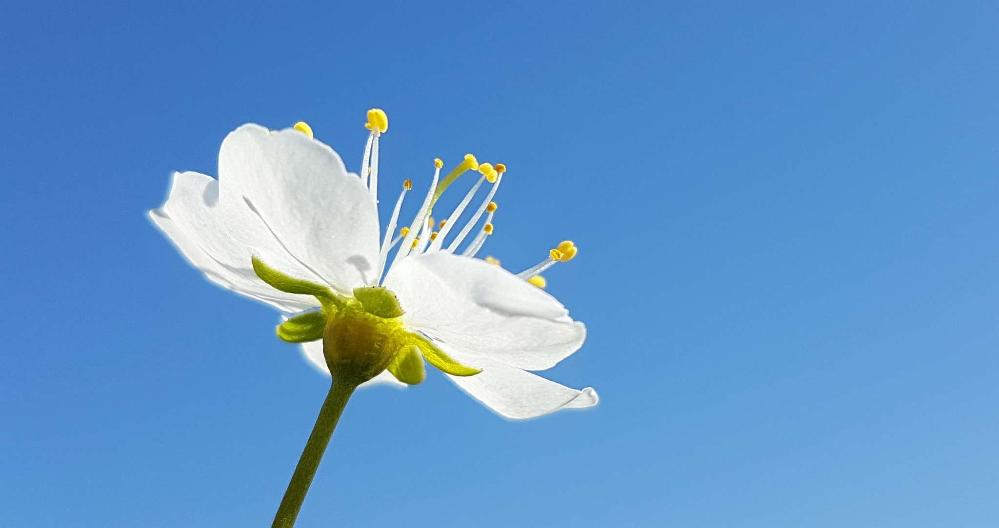floare_sgs7_3